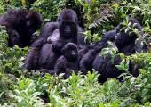 Gorilí rodinka při odpočinku (foto: Hochleitner)