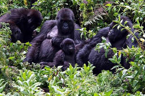 Uganda: Do džungle za gorilami